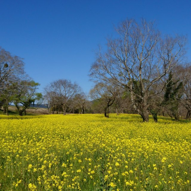 Canola Flower Field in Nyuta Willow Forest